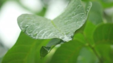 Raindrops on green leaves — Stock Video