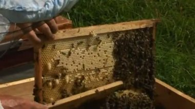 Bees in the hive — Stock Video