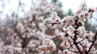 Cherry flowers — Stock Video