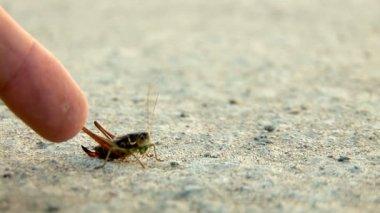 Grasshopper — Stock Video