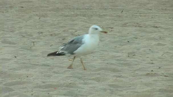 Gaviota en la playa — Vídeo de stock