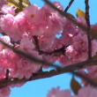Flowering tree — Stock Video