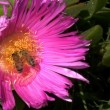 Stock Video: Bees in the flower