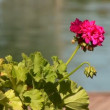 Stock Video: Flower in water