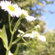 Stock Video: Daisies bloom