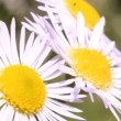 Stock Video: Three daisies