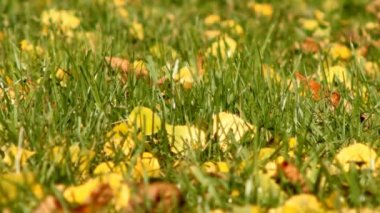 Leaves on the grass — Vídeo Stock