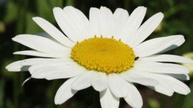 White daisy — Stock Video