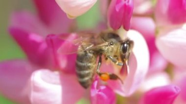 Bee collects nectar from pink flowers of lupine close up — Stock Video