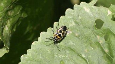 Cabbage bug Eurydema ventralis — Stock Video