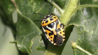 Cabbage bug Eurydema ventralis close-up — Stock Video