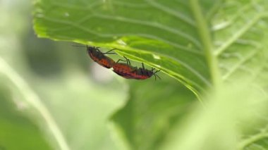 Cabbage bedbug couple Eurydema ventralis — Stock Video
