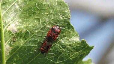 Cabbage bug couple Eurydema ventralis — Stock Video