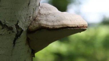 Tinder Fungus Fomes fomentarius — Stock Video