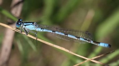 Blue dragonfly close-up — Stock Video