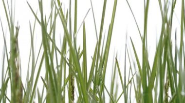Green grass. White background — Vídeo Stock