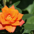 Orange rose — Stock Video