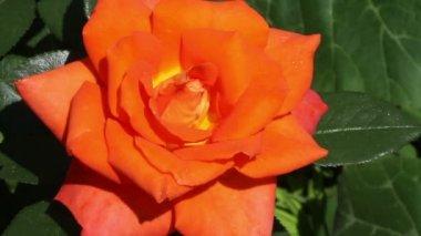 Orange rose close-up — Stock Video