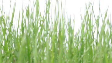Green grass in defocus — Video Stock