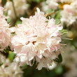 Stock Photo: Beautiful rhododendron