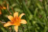 Daglelies in zon — Stockfoto