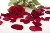 Roses with petals — Stock Photo