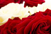 Closeup of roses — Stock Photo