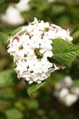 Beautiful viburnum — Stock Photo