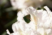 Beautiful butterfly on a rhododendron — Stock Photo
