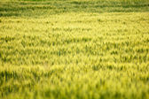 Beautiful close up of cornfield — Stock Photo