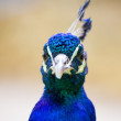 Beautiful blue indian peafowl looking at something — Stock Photo