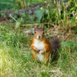 Stock Photo: Watchful red squirrel looking at you