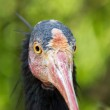 Face of northern bald ibis looking at you — Stock Photo #29093011