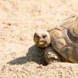 Stock Photo: Angry looking turtle on way home