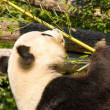 Cute giant panda eating some bamboo — Stock Photo