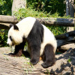 Cute giant panda standing up after sleeping — Stock Photo #29093059
