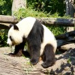 Cute giant panda standing up after sleeping — Stock Photo