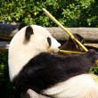 Relaxed giant Panda eating fresh bamboo — Stock Photo