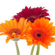 three colorful gerberas isolated on white background — Stock Photo