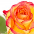 Close-up of beautiful red orange rose — Stock Photo #29093269