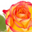 Close-up of beautiful red orange rose — Stock Photo
