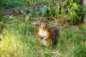 Watchful red squirrel looking at you — Stockfoto
