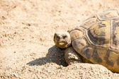 Angry looking turtle on the way home — Stock Photo