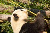 Cute giant panda eating some bamboo — Stock Photo