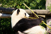 Relaxed giant Panda eating fresh bamboo — Stockfoto