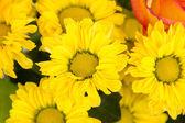Beautiful blossoms of yellow chrysanthmums — Stock Photo