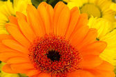 Close-up of beautiful and colorful flowers — Stock Photo