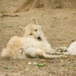 Beautiful arctic wolfs lying in the forest — Stock Photo