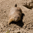 Cute marmot playing on the ground — Stockfoto