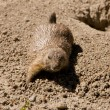 Cute marmot playing on the ground — Stock fotografie